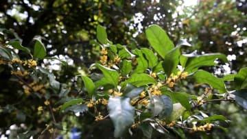 「旬のお茶」桂花龍井が出回る季節に 浙江省杭州