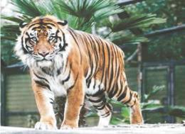 名古屋市東山動植物園に戻ることが決まったスマトラトラの「クンデ」(仙台市八木山動物公園提供)
