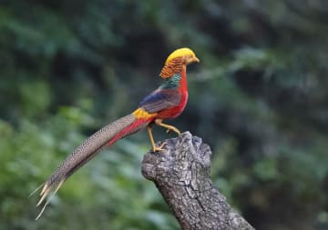 色鮮やかな鳥「キンケイ」