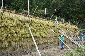 【稲を掛けて乾燥させる大さがり(16日、和歌山県田辺市龍神村龍神で)】
