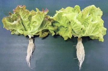 起潮力の変化に合わせて照明を調節して育てたレタス(右)と通常栽培のレタス(トヨタ紡織提供)