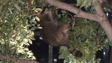 夜の赤坂にアライグマ 大捕物で一時騒然