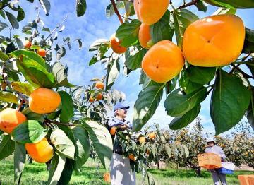 秋晴れの下、収穫される越前柿=10月17日、福井県あわら市柿原