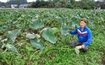 「相馬土垂」給食に サトイモ在来種