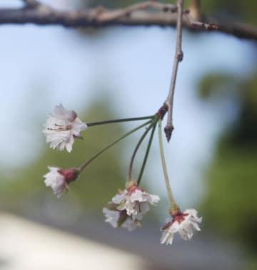 仙台市で咲いた桜=16日
