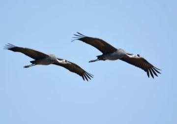 干拓地上空を飛ぶ2羽のナベヅル=18日午前9時43分、出水市高尾野町下水流