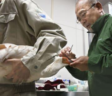獣医師の治療を受けるトキの「グワングワン」=17日、新潟県佐渡市(環境省提供)