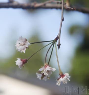 日本多地樱花深秋反季开花