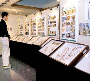 モズのはやにえを紹介する面河山岳博物館の企画展