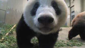 「新たなパンダ」どこへ? 安倍首相、中国に直談判へ