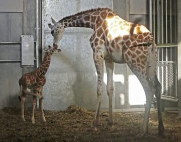 母親と触れ合う北海道旭川市の旭山動物園で生まれたキリンの赤ちゃん(左)=18日午後