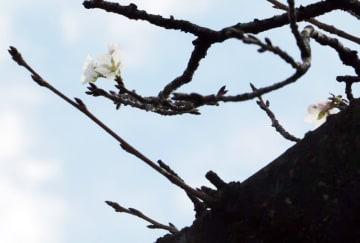 17日に市川市の真間川沿いで撮影された桜(ウェザーニューズ提供)