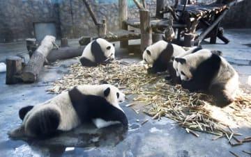 中国四川省の成都パンダ繁殖育成研究基地で飼育されているジャイアントパンダ=8月(共同)