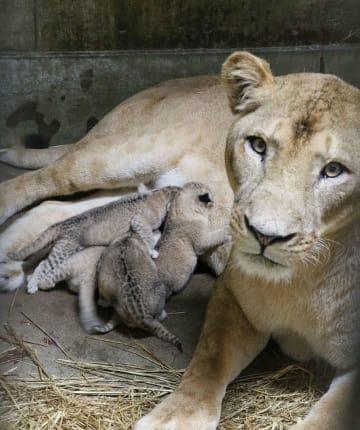 秋田市の大森山動物園で生まれたライオンの赤ちゃん4匹と母親のトモ=1日(同園提供)