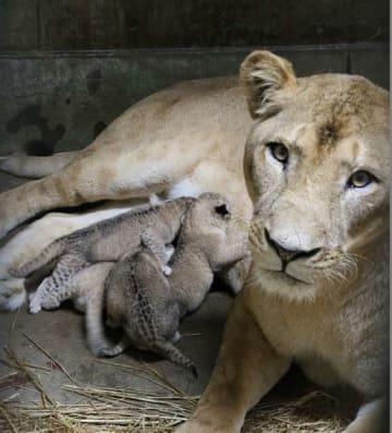 4匹の赤ちゃんに授乳する母親のトモ(右)=今月1日(大森山動物園提供)