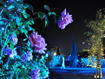 ライトアップで独特の色彩を見せるバラの花=可児市瀬田、花フェスタ記念公園