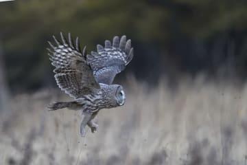 「丸顔」の猛禽類、カラフトフクロウ 内モンゴル自治区