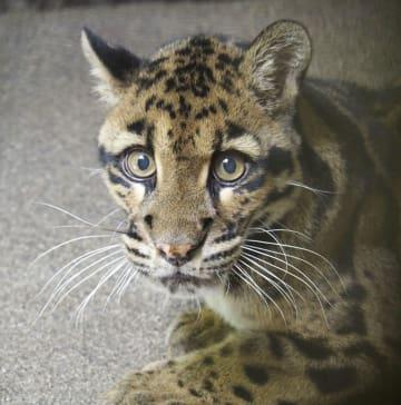 福岡市動物園から熊本市動植物園に帰還した雌のウンピョウ=22日午後、熊本市(熊本市動植物園提供)