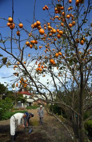 真っ青な秋空の下、鮮やかに色づいた柿=鹿児島市吉野町