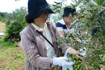 オリーブ収穫を体験する参加者たち=6日、小田原市前川地区で(同市提供)