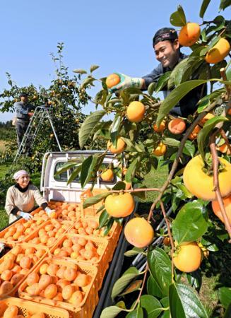 身不知柿収穫始まる 節気「霜降」