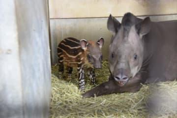 公開されたアメリカバクの赤ちゃん(左)