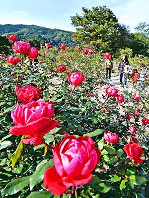 あづま総合運動公園で「秋バラ」見ごろ 色鮮やかに園内を演出