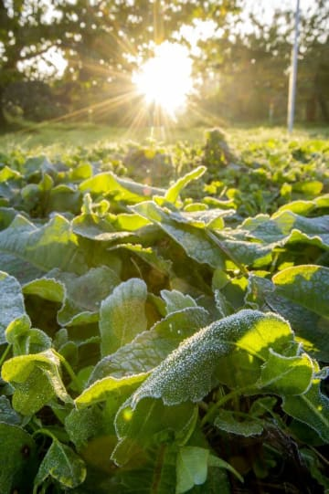 厳しい冷え込みで霜が降り、朝日に照らされ輝く草の葉=22日午前6時半ごろ、南部町