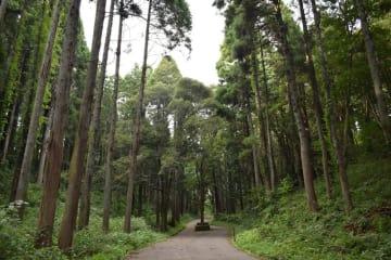 昨年度の調査結果で倒木の危険性が高いサンブスギ約100本を伐採した=緑区の昭和の森