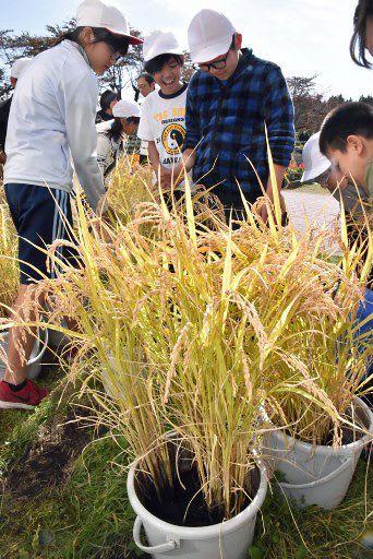 5年生がバケツで育てた「まっしぐら」の稲=22日午前、六戸町の大曲小学校