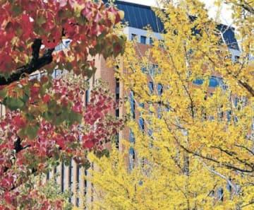 県庁周辺 色づくイチョウ並木