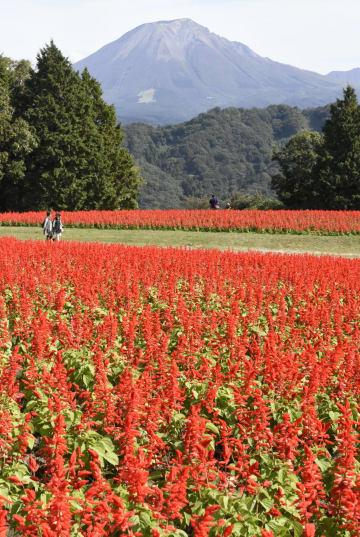 見頃を迎えた「とっとり花回廊」のサルビア。奥は大山=22日、鳥取県南部町