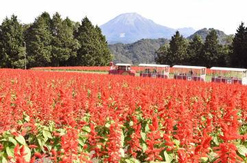 돗토리현 수놓은 샐비어 꽃 축제