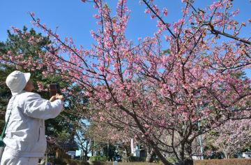 2017年1月、静岡県伊豆市土肥地区で見頃を迎えた早咲きの「土肥桜」