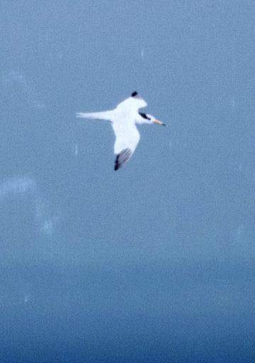 宮古島に飛来したヒガシシナアジサシ=20日(ウラディミル・ディネッツ博士撮影)