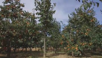 実りの秋、柿産業が好調 陝西省富平県