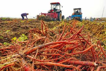 薬用作物の栽培で増収を後押し 河北省唐山市