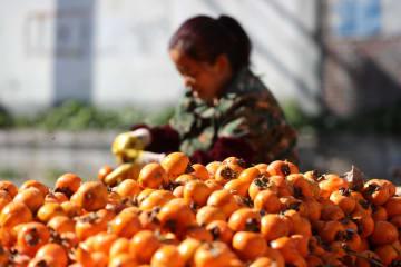 柿の付加価値高め農民の増収図る 河北省井陘県