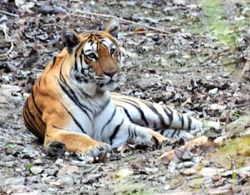 インド中部の国立公園にすむ野生のベンガルトラ(共同)