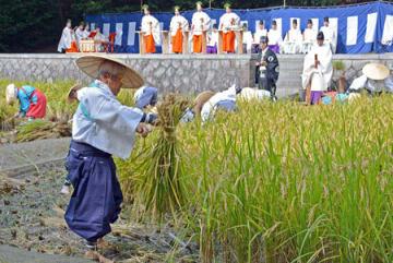 神楽女が舞う中、手際よく稲を刈り束ねていく信者たち(京都市伏見区・伏見稲荷大社)