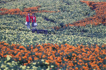 「高原の彩り」ゾーンに10万本。見頃を迎えたマリーゴールド=竹田市久住町