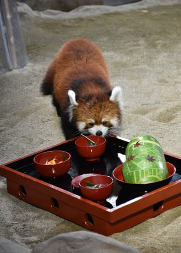 那須どうぶつ王国で行われた、レッサーパンダの「お食い初め」