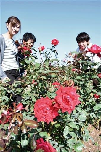 秋バラが見頃を迎えた「おもやい市民花壇」=荒尾市