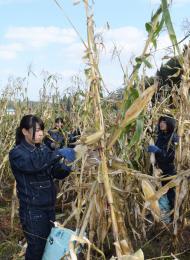 デントコーンの実を収穫する生徒たち