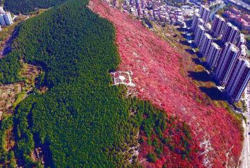 二色に色づく楔子山 山東省済南市
