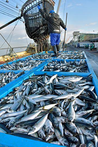 ブランド認定を受け、水揚げされる「八戸前沖さば」=29日午前7時ごろ、八戸港第1魚市場岸壁