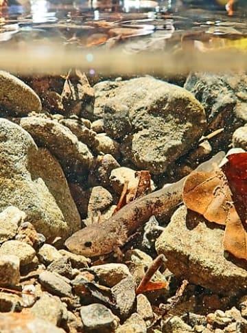 【冬を前に餌の水生昆虫を探すオオダイガハラサンショウウオ(和歌山県田辺市の山中で)】
