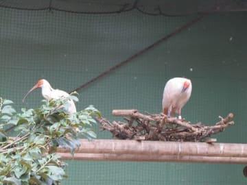 繁殖ケージに移され、ペアになった楼楼(右)と6歳雌のトキ=30日、佐渡市(佐渡トキ保護センター提供)