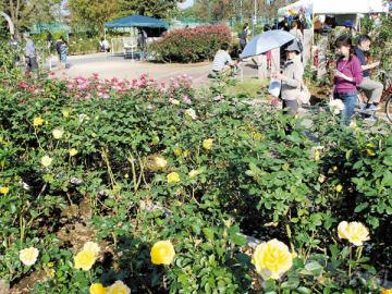 見ごろを迎えている伊奈町制施行記念公園のバラ=埼玉県伊奈町小針内宿
