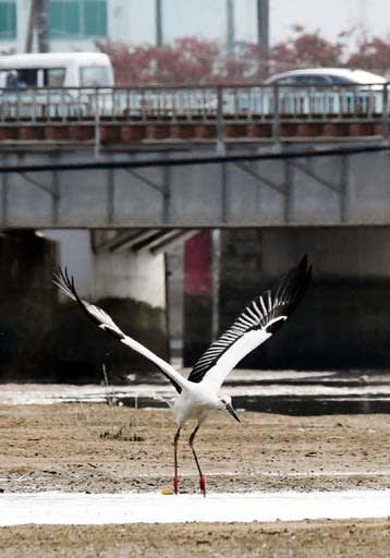 八幡川河口の干潟で、餌を探して動き回るコウノトリ。後ろはJR山陽線の鉄橋(10月31日午前9時30分)